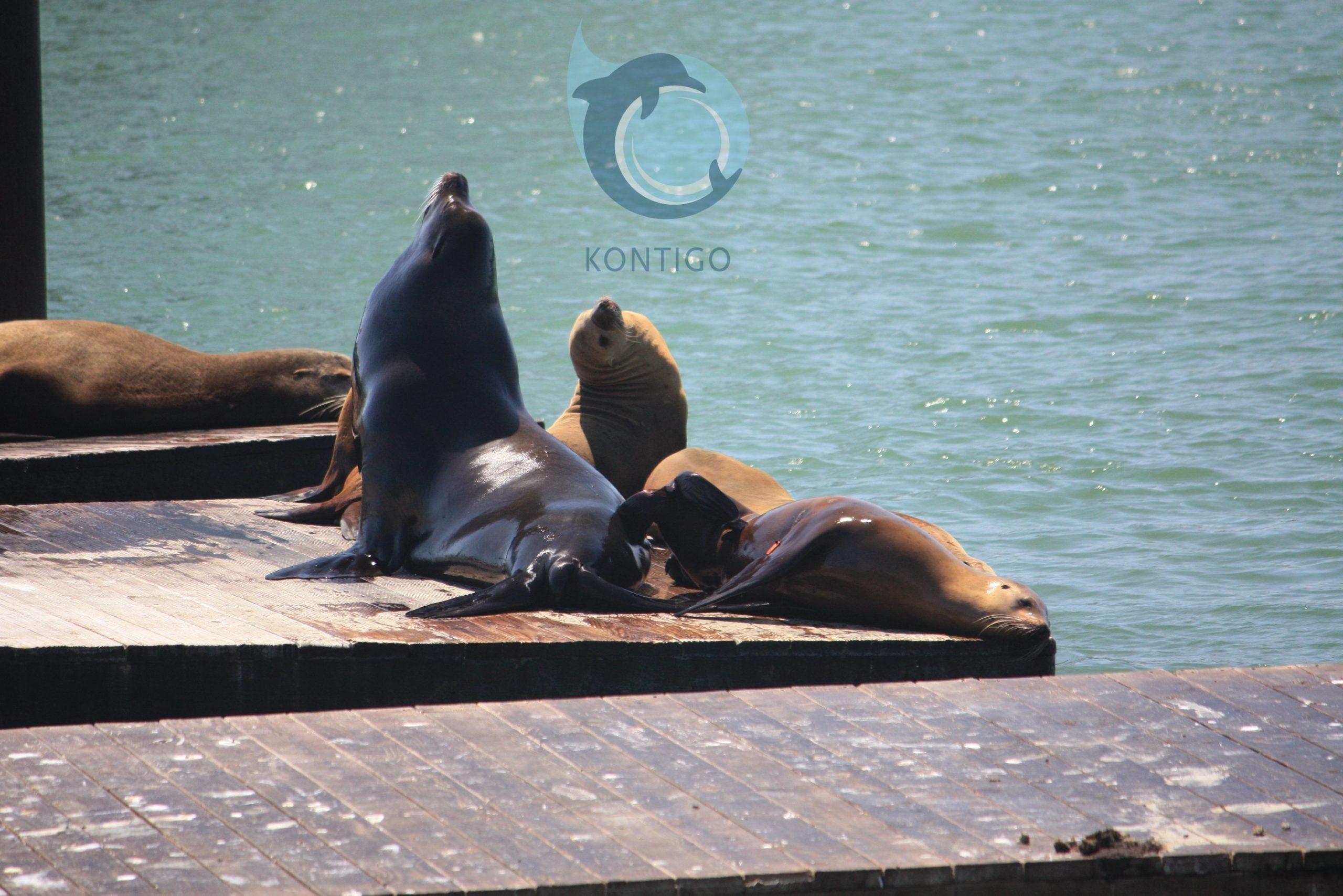 Leones marinos en el Pier 39 de Fishermans Wharf en San Francisco