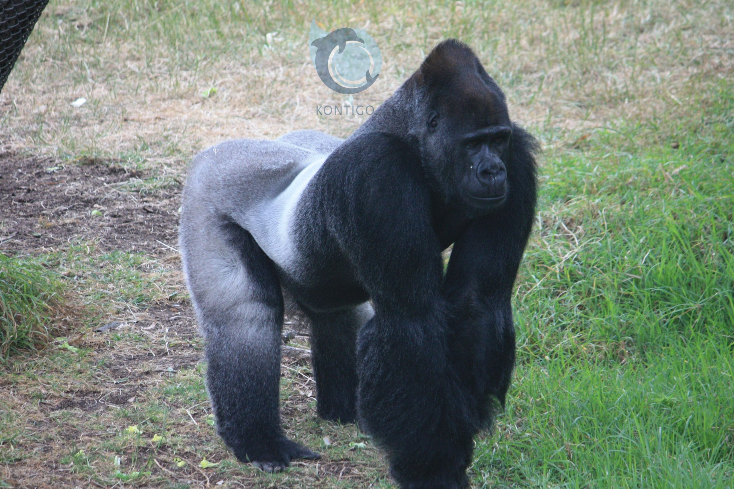Este es un Gorila de espalda plateada, zoológico de San Francisco: Kontigo